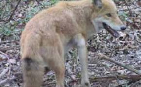 Eastern Coyote (red variation)